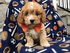 Cavapoo Puppy For Sale in BIRD IN HAND, PA, USA