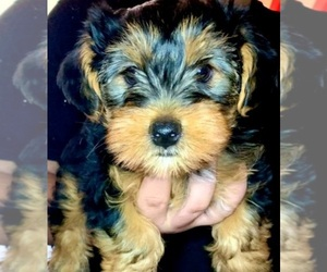 Yorkshire Terrier Puppy for sale in SAN JOSE, CA, USA