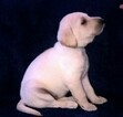 Labrador Retriever Puppy For Sale in VEEDERSBURG, IN, USA