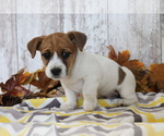 Small Jack Russell Terrier-Jug Mix