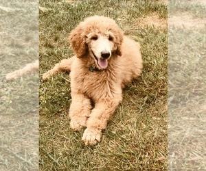Poodle (Standard) Puppy for sale in CHRISTIANA, DE, USA