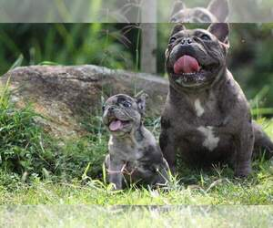 Father of the French Bulldog puppies born on 07/20/2020