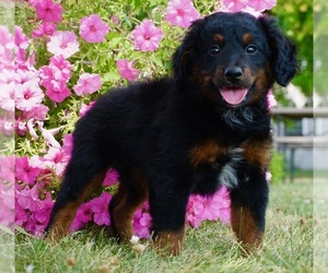 Bernese Mountain Dog-Poodle (Toy) Mix Puppy for Sale in NAPPANEE, Indiana USA