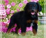 Puppy 0 Bernese Mountain Dog-Poodle (Toy) Mix
