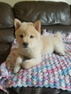 Shiba Inu Puppy For Sale in WESTMINSTER, CA,