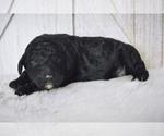 Puppy 2 Poodle (Standard)