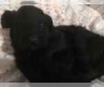 Puppy 4 Bernedoodle-Goldendoodle Mix