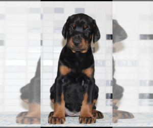 Doberman Pinscher Puppy for sale in MURRIETA, CA, USA