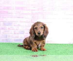 Dachshund Puppies For Sale In Maryland Usa Page 1 10 Per Page