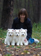 Samoyed Puppy For Sale in NEW YORK, NY