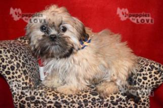 Shih Tzu Puppy For Sale in SANGER, TX, USA