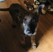 German Shepherd Dog Puppy For Sale in EVERETT, WA, USA