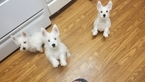 West Highland White Terrier Puppy For Sale in TEMPE, AZ