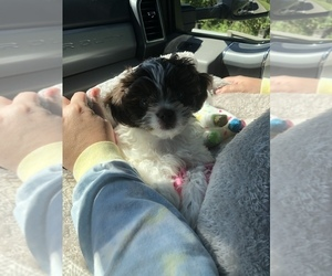 Shih-Poo Puppy for sale in COVINGTON, LA, USA