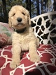 Small #11 Labradoodle