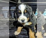 Small #11 Bernese Mountain Dog