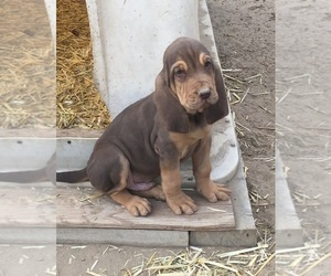 Bloodhound Puppy for Sale in FORT MORGAN, Colorado USA