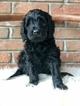 Goldendoodle Puppy For Sale in PHENIX CITY, Alabama,