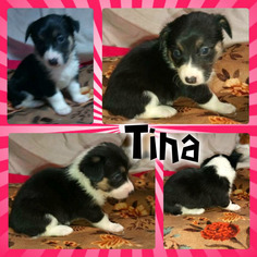 Border Collie-Pembroke Welsh Corgi Mix Puppy for sale in ORCHARD, CO, USA