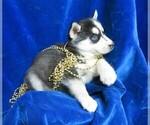 Puppy 6 Siberian Husky