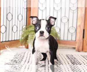 Boston Terrier Puppy for sale in NAPLES, FL, USA