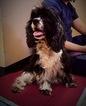 Cocker Spaniel Dog For Adoption in Houston, TX