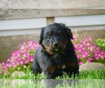 Small #2 Bernese Mountain Dog-Poodle (Toy) Mix