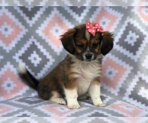 Pekingese Mix Dog for Adoption in LAKELAND, Florida USA