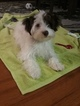 Havashire Puppy For Sale in MESA, AZ, USA