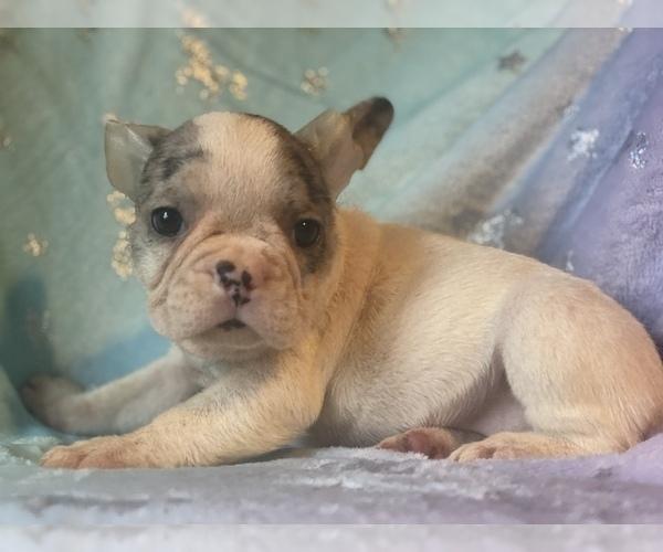 Medium Photo #3 French Bulldog Puppy For Sale in HAMDEN, CT, USA