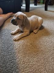 Cane Corso Puppy For Sale in DALLAS, GA, USA