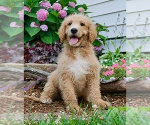 Poodle (Toy) Puppy for Sale in NAPPANEE, Indiana USA