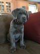 Labrador Retriever Puppy For Sale in NORWALK, CT