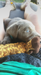 Labrador Retriever Puppy For Sale in BOWLING GREEN, KY