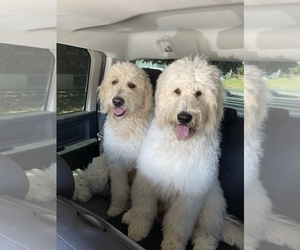 Goldendoodle Puppy for Sale in SHADLE GARLAND, Washington USA