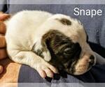 Small #16 American Bulldog