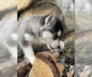 Pomsky Puppy for Sale in STAPLES, Minnesota USA