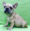 French Bulldog Puppy For Sale in CHARLESTON, SC