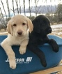 Labradoodle Puppy For Sale in REXBURG, ID, USA