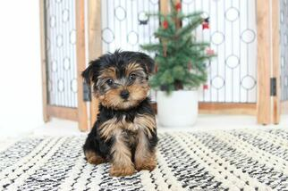 View Ad Yorkshire Terrier Puppy For Sale Florida Naples Usa