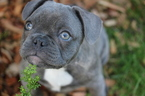 French Bulldog Puppy For Sale in SEATTLE, WA