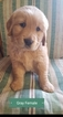 Golden Retriever Puppy For Sale near 64020, Concordia, MO, USA