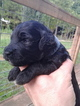 Golden Retriever-Poodle (Miniature) Mix Puppy For Sale in HONEA PATH, SC, USA