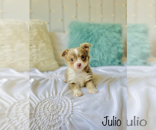 Medium Photo #6 Chihuahua Puppy For Sale in COOKEVILLE, TN, USA