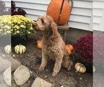 Small Photo #1 Goldendoodle (Miniature) Puppy For Sale in ARCOLA, IL, USA
