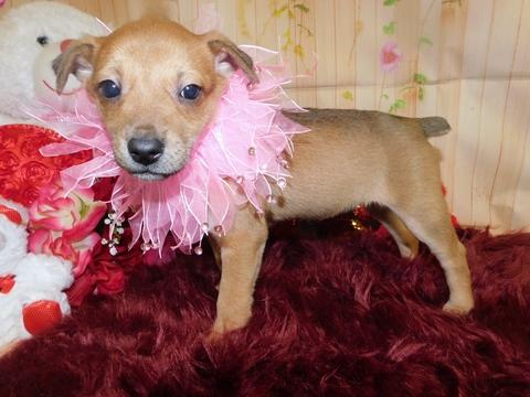 Jack-Rat Terrier-Rat Terrier Mix puppy