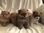 Beautiful CKC Pom Puppies