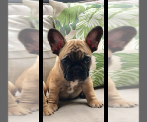 French Bulldog Puppy for sale in COSTA MESA, CA, USA