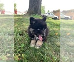Pomsky Puppies Financing Available