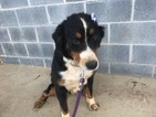 Bernese Mountain Dog Puppy For Sale in PEACH BOTTOM, PA, USA
